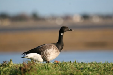 Brent Geese are back in the Lough
