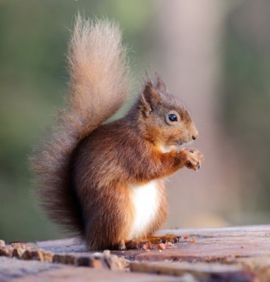 Protecting Our Red Squirrels
